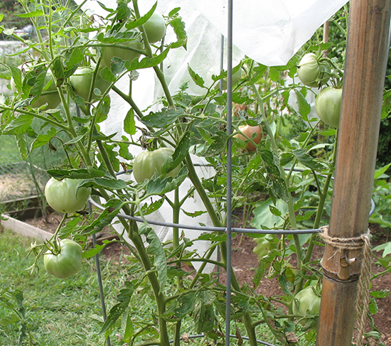 Tomato plant & green tomatoes July 31st