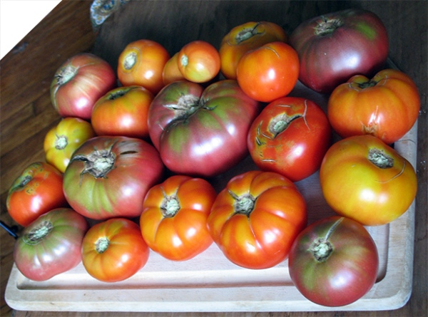 Tomato harvest, 3rd week of July