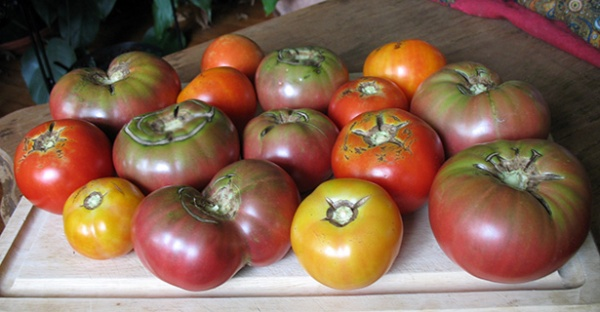 Tomato harvest, 4th week of July
