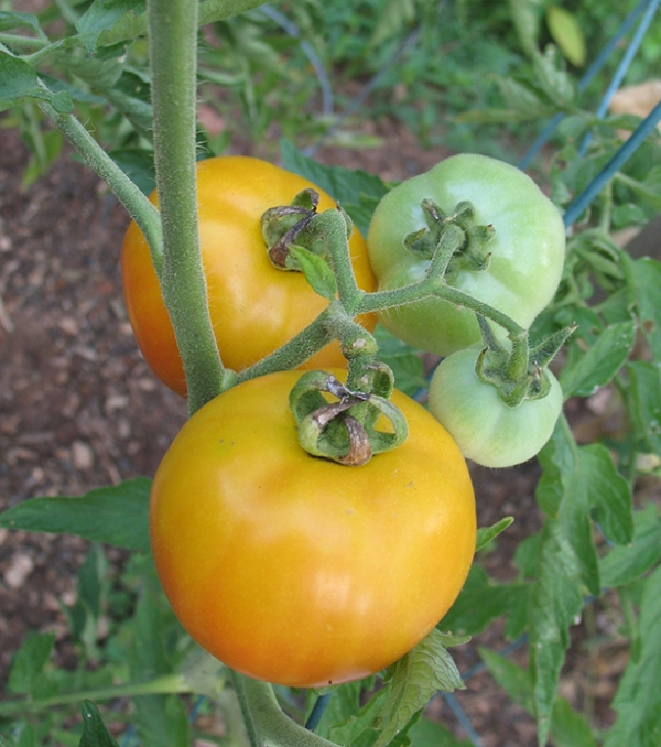 Tomatoes getting ripe on July 31st